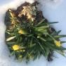 Daffodils, March 19, 2017